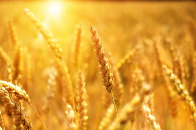 Gluten: Kaum Unterschiede zwischen alten und neuen Weizenzüchtungen