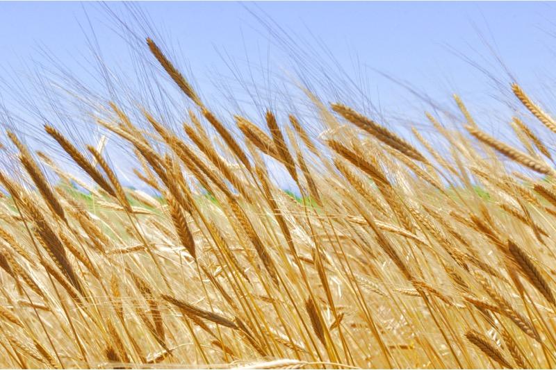 Alte Weizenarten: Auf die Allergenkennzeichnung achten